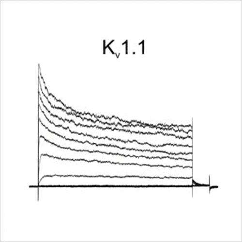 Kv1.1 traces