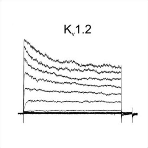Kv1.2 traces