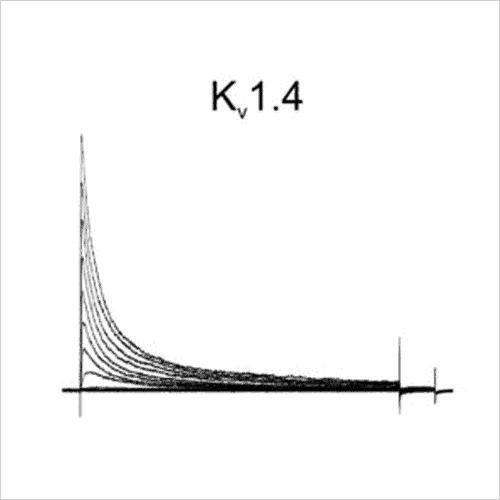 Kv1.4 traces