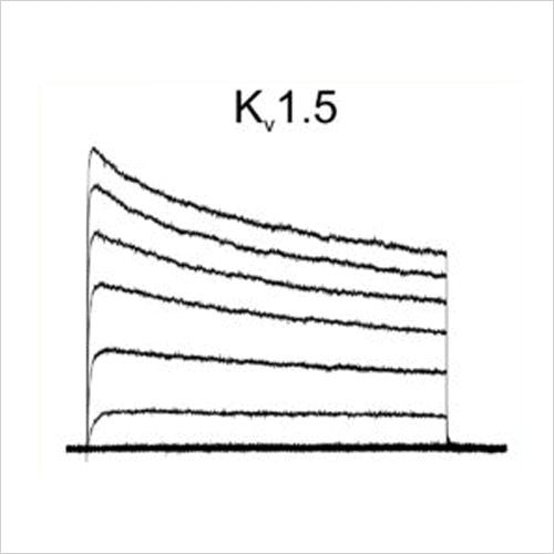 Kv1.5 traces