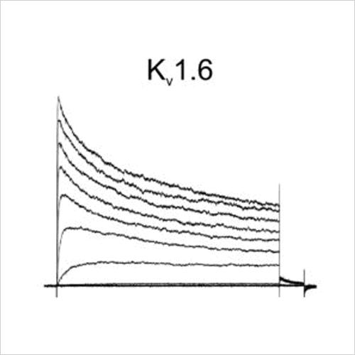 Kv1.6 traces