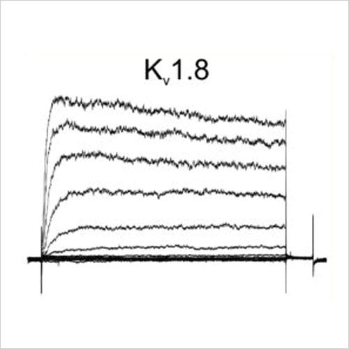 Kv1.8 traces