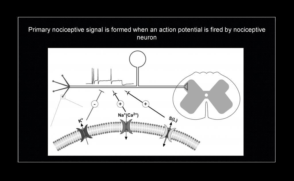 M type K channels in nociceptive pathways Slide 4 copy