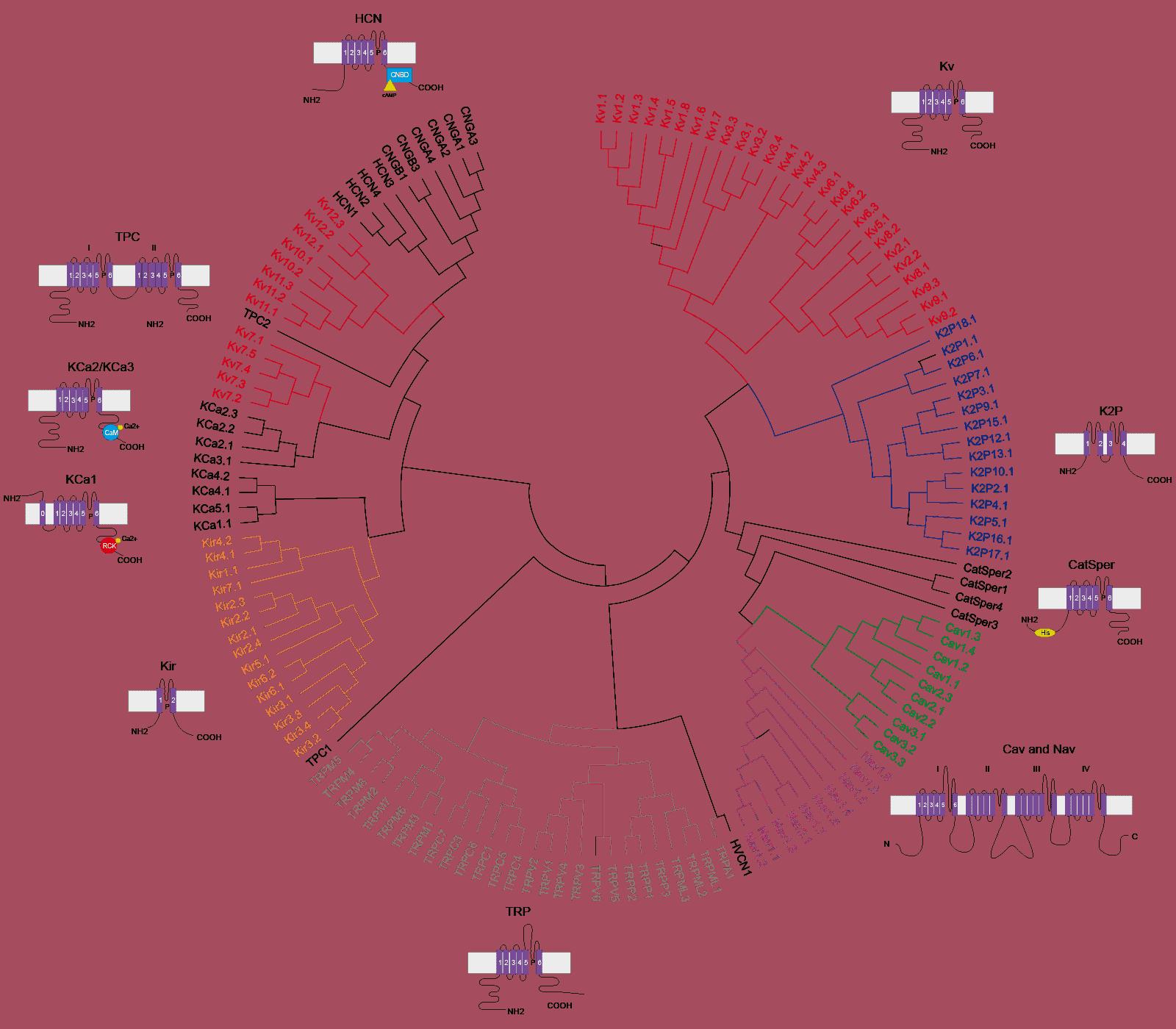 Metrion Biosciences Voltage gated channel dendrogram 01 01